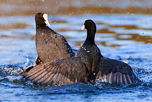 Eurasian coot (Fulica atra) males fighting over territory. London, England, UK. December.  -  Oscar Dewhurst