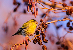 Eurasian siskin (Carduelis spinus), male, feeding on alder seeds, London, England, UK. December.  -  Oscar Dewhurst