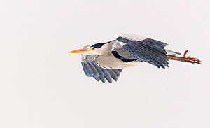 Grey heron (Ardea cinerea) flying through falling snow. London, England, UK. January.  -  Oscar Dewhurst
