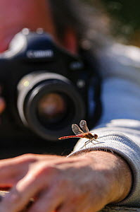 Photographer photographing Common darter (Sympetrum striolatum) which landed on his arm. London, England, UK. September.  -  Oscar Dewhurst