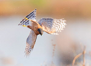 Eurasian sparrowhawk (Accipiter nisus), hunting snipe over marshland. London, England, UK. December. Cropped  -  Oscar Dewhurst