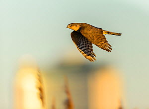 Eurasian sparrowhawk (Accipiter nisus), in flight over marshland. London, England, UK, December. Cropped  -  Oscar Dewhurst
