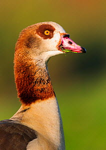 Egyptian goose (Alopochen aegyptiaca) portrait. London, England, UK. November.  -  Oscar Dewhurst