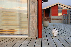 Ptarmigan (Lagopus muta) on decking of a house. Iceland. October.  -  Oscar Dewhurst