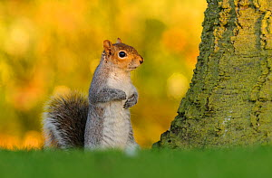 Grey squirrel (Sciurus carolinensis) stood upright on short grass. London, England, UK. March.  -  Oscar Dewhurst