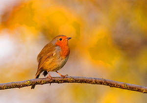 European robin (Erithacus rubecula) perched on tree branch with autumn colours behind. London, England, UK, November.  -  Oscar Dewhurst