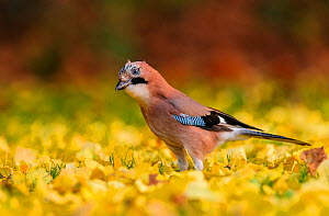 Eurasian jay (Garrulus glandarius) foraging in autumn leaves. London, England, UK. November.  -  Oscar Dewhurst