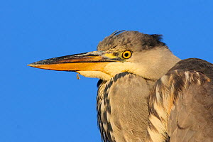 Grey heron (Ardea cinerea) immature portrait. London, England, UK, December.  -  Oscar Dewhurst