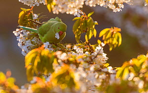 Rose-ringed parakeet (Psittacula krameri) feeding on cherry tree (Prunus) flowers in evening light. London, England, UK, May.  -  Oscar Dewhurst