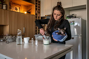 Emily Small, founder of Goongerah Wombat Orphanage, wildlife rescuer and carer, makes up a wombat feed supplement, whilst holding 'Bronson' (8 months old), one of the three orphaned and rescue...  -  Doug Gimesy