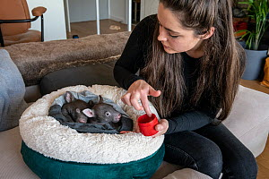 Emily Small, founder of Goongerah Wombat Orphanage, wildlife rescuer and carer, applies PawPaw ointment (a product made for skin from fermented papaw fruit), to the feet of rescued baby bare-nosed wom...  -  Doug Gimesy