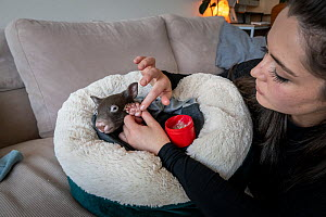 Emily Small, founder of Goongerah Wombat Orphanage, wildlife rescuer and carer, applies PawPaw ointment (a product made for skin from fermented papaw fruit), to the feet of Bronson, an 8-month-old orp...  -  Doug Gimesy