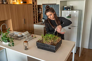 Emily Small, founder of Goongerah Wombat Orphanage, wildlife rescuer and carer, watering grass she is growing in her Melbourne inner city apartment that will be used to supplemently feed three orphane...  -  Doug Gimesy