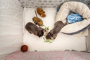 Two orphaned and rescued male baby bare-nosed wombats (Vombatus ursinus) in a cot. 'Bronson' (left) and 'Landon' (right). With local soil and grass placed in the cot. Temporarily capti...  -  Doug Gimesy
