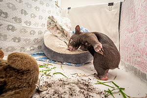 A 8-month-old male orphaned and rescued baby bare-nosed wombat (Vombatus ursinus) 'Bronson' in a cot. With local soil and grass placed in the cot. Temporarily captive, until old enough to be r...  -  Doug Gimesy