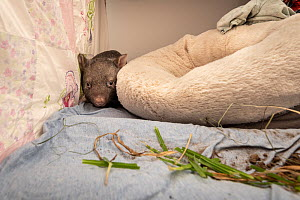 A 9-month-old female orphaned and rescued baby bare-nosed wombat (Vombatus ursinus) 'Beatrice' in a cot. With local soil and grass placed in the cot. Temporarily captive, until old enough to b...  -  Doug Gimesy