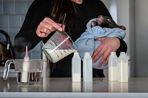 Emily Small, founder of Goongerah Wombat Orphanage, wildlife rescuer and carer, makes up a wombat feed supplement, whilst holding 'Bronson' an orphaned and rescued baby bare-nosed wombats (Vom...  -  Doug Gimesy