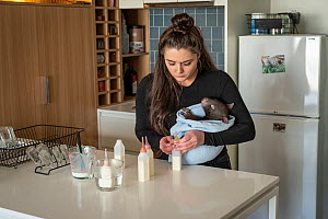 �Editorial use only'~Emily Small, founder of Goongerah Wombat Orphanage, wildlife rescuer and carer, makes up a wombat feed supplement in the kitchen of her Melbourne inner-city apartment, whilst hold...  -  Doug Gimesy