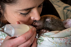 An 8-month-old male orphaned and rescued baby bare-nosed wombat (Vombatus ursinus) 'Landon', bottle fed a food supplement by Emily Small, founder of Goongerah Wombat Orphanage. Due to Covid-19...  -  Doug Gimesy