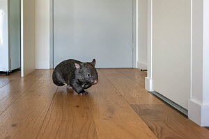 A 9-month-old orphaned and rescued baby bare-nosed wombat (Vombatus ursinus) 'Beatrice', running in apartment. Due to Covid-19 lockdown, Emily Small. founder of Goongerah Wombat Orphanage, is...  -  Doug Gimesy