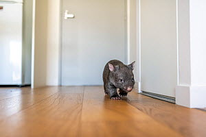 A 9-month-old orphaned and rescued baby bare-nosed wombat (Vombatus ursinus) 'Beatrice', exploring apartment. Due to Covid-19 lockdown, Emily Small. founder of Goongerah Wombat Orphanage, is c...  -  Doug Gimesy