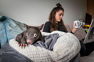 Emily Small, founder of Goongerah Wombat Orphanage, wildlife rescuer and carer, working in her Melbourne inner-city apartment, with an orphaned and rescued baby bare-nosed wombat (Vombatus ursinus) na...  -  Doug Gimesy
