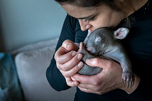 Emily Small, founder of Goongerah Wombat Orphanage, holding a 6-month-old male orphaned and rescued baby bare-nosed wombat (Vombatus ursinus) named 'Landon'. Due to Covid-19 lockdown she is ca...  -  Doug Gimesy