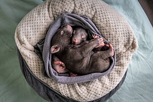 Two male orphaned and rescued baby bare-nosed wombats (Vombatus ursinus) named 'Bronson' and 'Landon', asleep in a home-made pouch, (aged 6 and 7 months). Cared for by Emily Small, fou...  -  Doug Gimesy