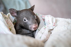A 7-month-old male orphaned and rescued baby bare-nosed wombat (Vombatus ursinus) named 'Bronson', in a home-made pouch. Cared for by Emily Small, founder of Goongerah Wombat Orphanage. Due to...  -  Doug Gimesy
