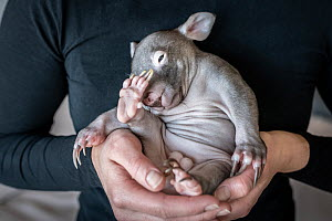 Emily Small, founder of Goongerah Wombat Orphanage, in her apartment, holding �Landon' a bare-nosed wombat (Vombatus ursinus) male, age 6 months. Due to Covid-19 lockdown she is caring for 3 orphan ba...  -  Doug Gimesy