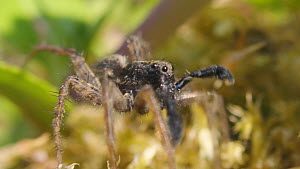 Male Wolf spider (Pardosa) courting, drumming on leaf with his legs to attract female, Bristol, England, UK, May.  -  Michael Hutchinson