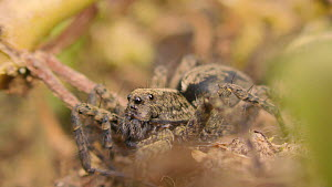 Female Wolf spider (Pardosa) moving its mouth parts, Bristol, England, UK, May.  -  Michael Hutchinson