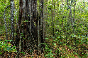 Aerial roots of tree near Cupeyal del Norte, Humboldt National Park, Guantanamo, Cuba  -  Bruno D'Amicis