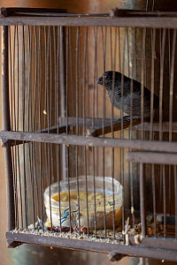 Cuban bullfinch (Melopyrrha nigra) in cage, illegaly kept in captivity. Endemic to Cuba.  -  Bruno D'Amicis