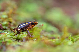 Monte Iberia eleuth (Eleutherodactylus iberia), one of the World's smallest frogs. Endemic to Cuba. Humboldt National Park, Cuba  -  Bruno D'Amicis