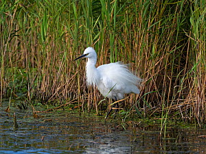 Little egret (Egretta garzetta) beside a reedbed at the edge of a pool, from North Hide, Westhay Moor Nature Reserve, Somerset Wildlife Trust Reserve, Somerset, England, UK, August.  -  Mike Read