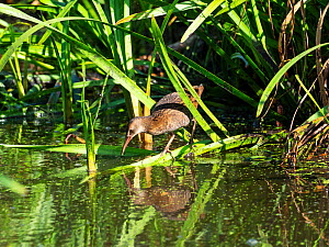 Water rail (Rallus aquaticus) juvenile in a pool, Greylake RSPB Reserve, Somerset, England, UK, August .  -  Mike Read