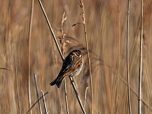 Common reed bunting (Emberiza shoeniclus) perched on the stem of Common reed (Phragmites australis), Lymington and Keyhaven Marshes Nature Reserve, Hampshire County Council Reserve, New Forest Nationa...  -  Mike Read