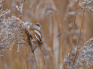 Bearded tit (Panurus biarmicus) female feeding on the seed heads of Common reed (Phragmites australis) Radipole Lake RSPB reserve, Weymouth, Dorset, England, UK, January.  -  Mike Read