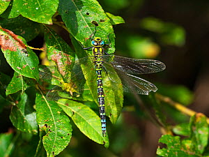 Migrant hawker dragonfly (Aeshna mixta) resting on leaves, Ham Wall RSPB Reserve, Avalon Marshes, Somerset Levels and Moors, England, UK, August.  -  Mike Read