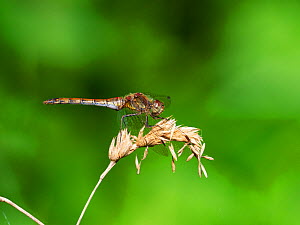 Common darter dragonfly (Sympetrum striolatum) resting on a grass stem, Westhay Moor Nature Reserve, Somerset Wildlife Trust Reserve, Avalon Marshes, Somerset Levels and Moors, England, UK, August.  -  Mike Read