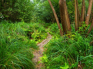 Replica of the bronze age Meare Heath trackway built across marshland in 1500 bc, Shapwick Heath National Nature Reserve, Avalon Marshes, Somerset Levels and Moors, Somerset, England, UK, August 2019  -  Mike Read