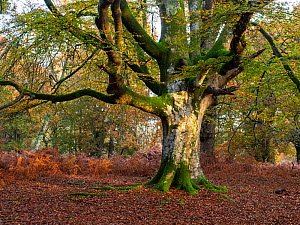 Ancient pollarded beech tree with fallen branch, Vinney Ridge, New Forest National Park, Hampshire, England, UK, November 2019  -  Mike Read