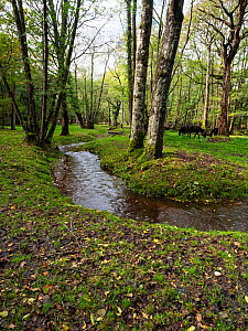 Restored stream through woodland and grazing ponies beside the stream, near Holmhill Passage, New Forest National Park, Hampshire, England, UK, October.  -  Mike Read