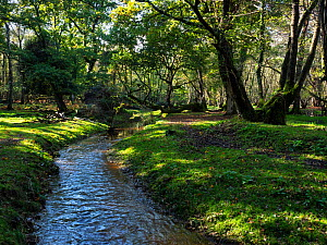Restored stream through woodland near Holmhill Passage, New Forest National Park, Hampshire, England, UK, October.  -  Mike Read