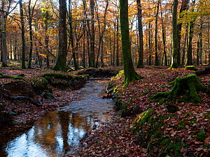 Latchmore brook running through deciduous woodland, Islands Thorns Inclosure, near Fritham, New Forest National Park, Hampshire, England, UK, November.  -  Mike Read