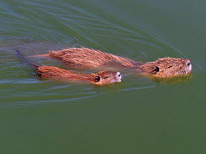 Coypu (Myocastor coypus) adult and young in a pool, Parc Ornithologique, Regional Nature Park of the Camargue, France, September. Introduced species.  -  Mike Read
