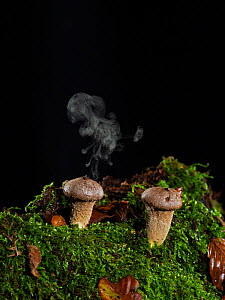 Stump puffball (Lycoperdon pyriforme) releasing spores, Ringwood, Hampshire, England, UK, November.  -  Mike Read