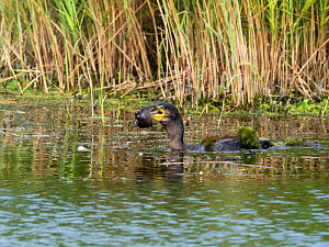 Great cormorant (Phalacrocorax carbo) with a fish, Westhay Moor Nature Reserve, Avalon Marshes, Somerset Levels and Moors, England, UK, August  -  Mike Read