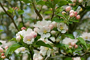 Blossom on a Discovery apple tree in a spring garden, Devon, May  -  Nigel Cattlin